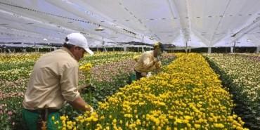 cultivos-de-flores-oriente-antioquec3b1o